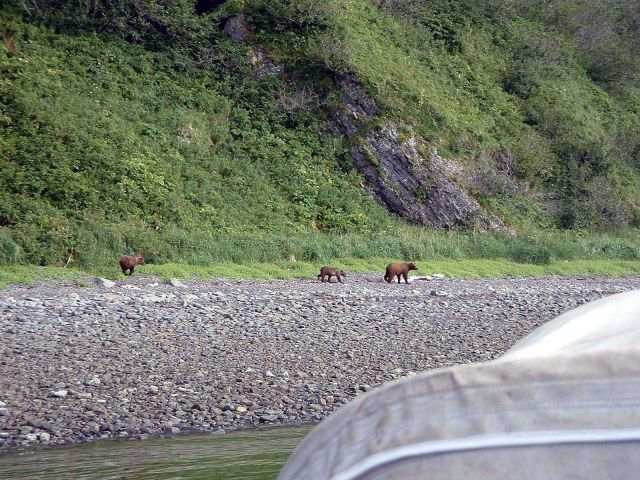Mama bear with two cubs - Alaska brown bears - Ursus arctos. Picture