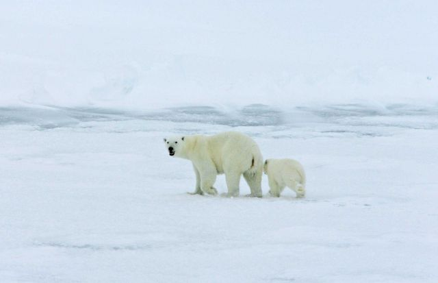 Polar bear with cub on the ice in the Arctic Ocean north of western Russia. Picture