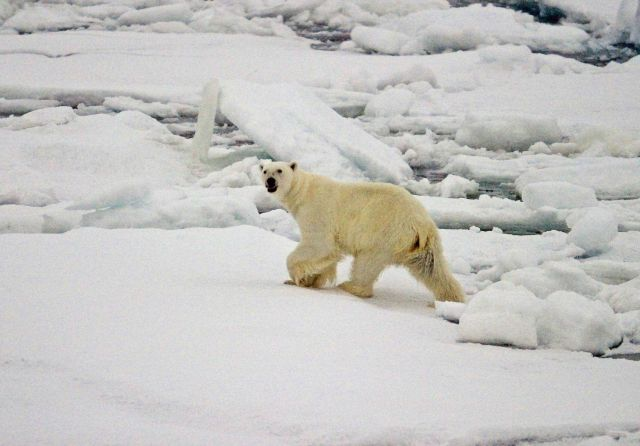 A polar bear (Ursus maritimus) on the ice in the Arctic Ocean north of western Russia. Picture