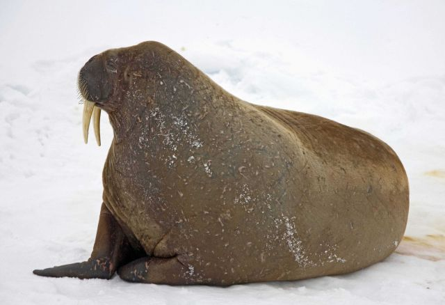 A walrus on the ice in the Arctic Ocean north of western Russia Picture