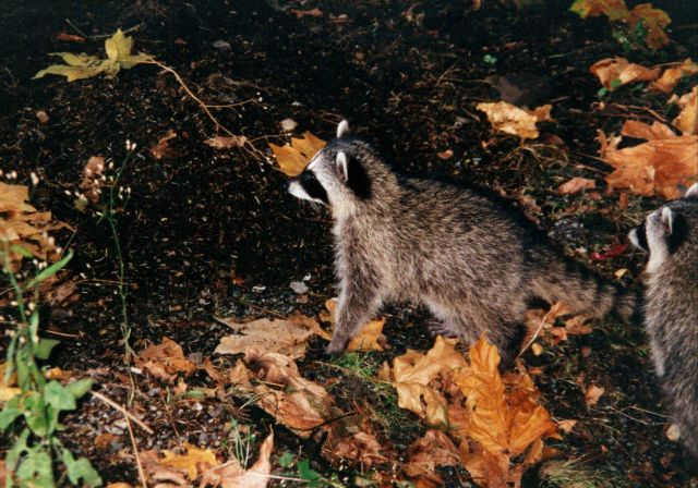 Raccoon (Procyon lotor). Picture