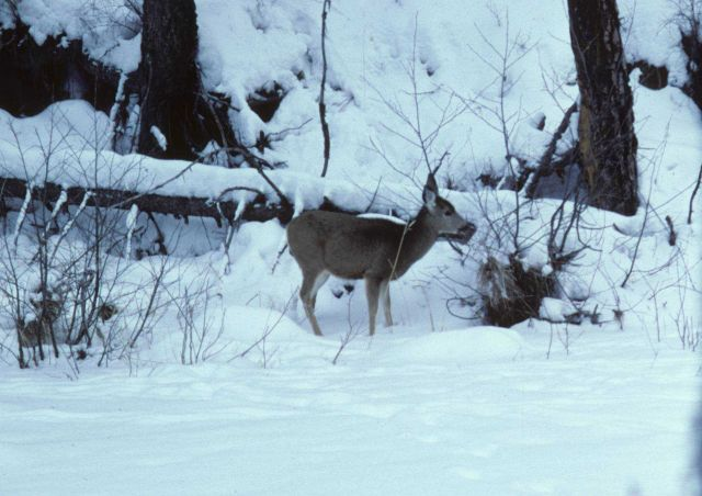 Mule deer feeding on riparian vegetation on a frozen over Camas Creek. Picture
