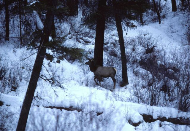 Elk wintering in riparian vegetation on a frozen over Camas Creek. Picture