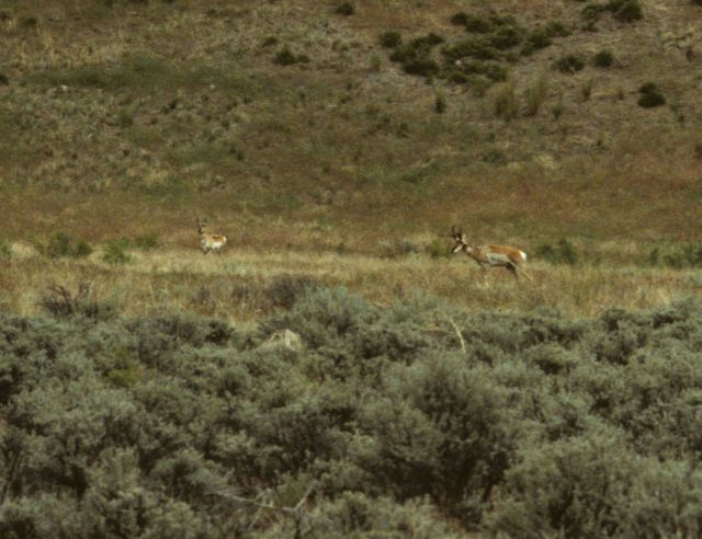Antelope in eastern Oregon. Picture