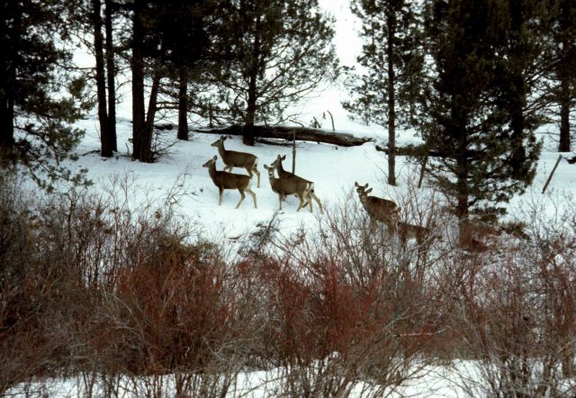 Wintering mule deer in riparian vegetation. Picture