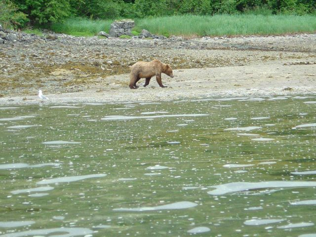 Young Alaska Brown Bear (Ursus arctos) strolling on the beach. Picture