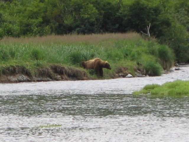 Large Alaska Brown Bear (Ursus arctos) waiting for dinner to swim by. Picture
