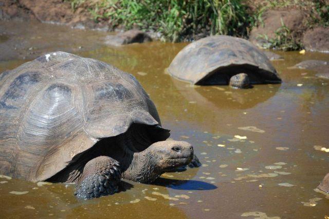 Giant Tortoises. Picture