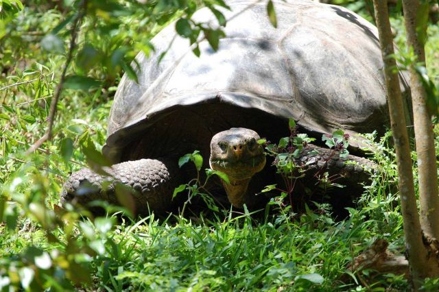 Giant tortoise. Picture