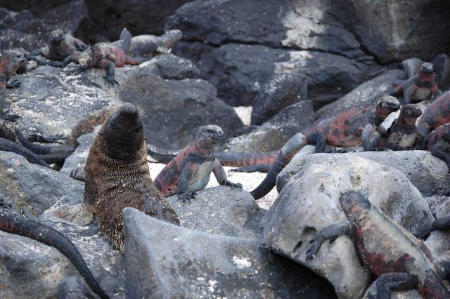 Sea lion pup surrounded by marine iguanas Picture