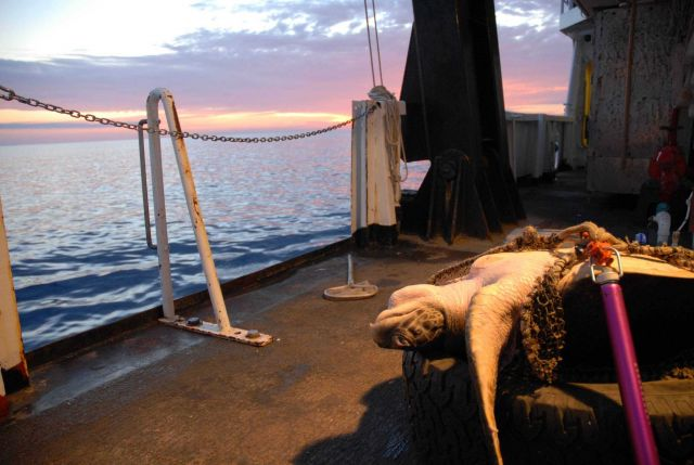 Sea turtle secured for study on the NOAA Ship DAVID STARR JORDAN. Picture