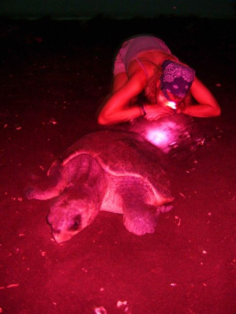 Scientist watching sea turtle lay eggs. Picture