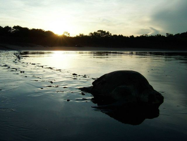 Sea turtle returning to sea after laying eggs. Picture