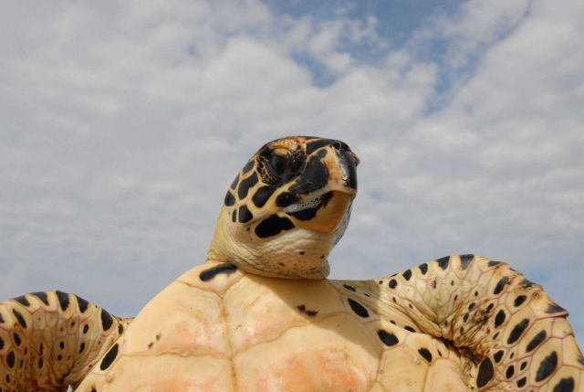 Sea turtle showing facial markings and underbody. Picture