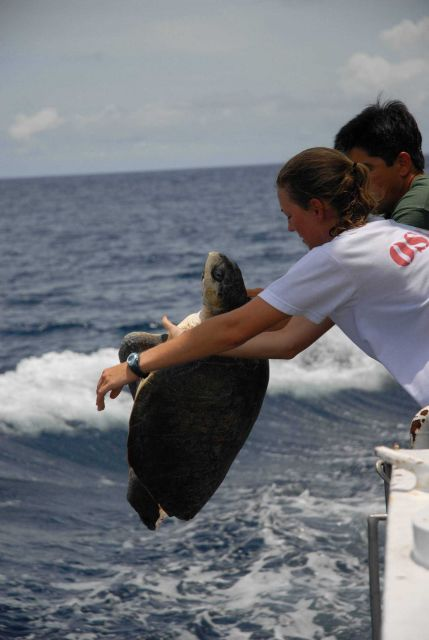 Preparing to return sea turtle to the ocean after completing measurements. Picture