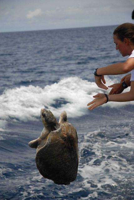 Returning sea turtle to the ocean after completing measurements. Picture