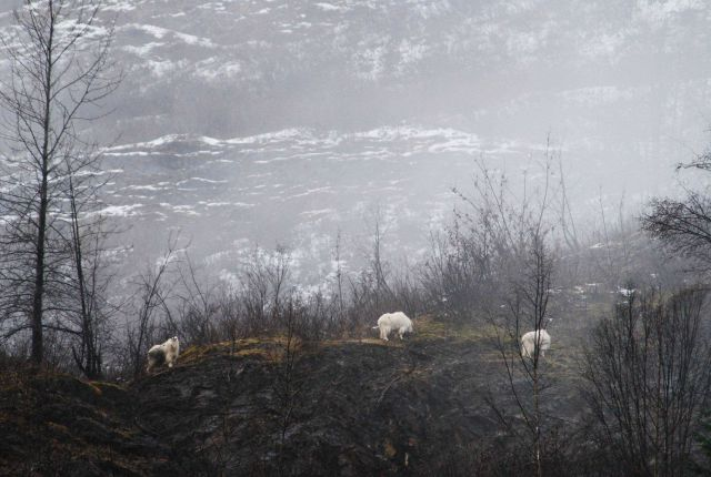 Mountain goats (Oreamnos americanus) Picture