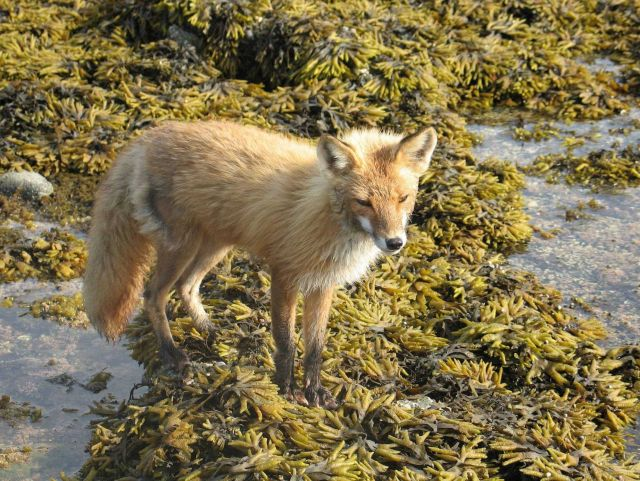Fox looking for meal at low tide. Picture