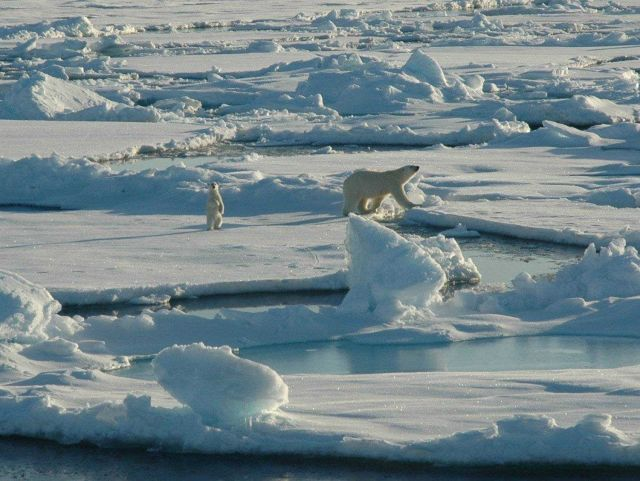 Polar bear with curious cub on first year ice floes Picture