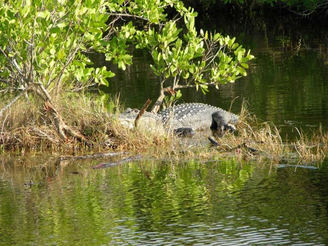 A very large alligator in a mangrove swamp area Picture