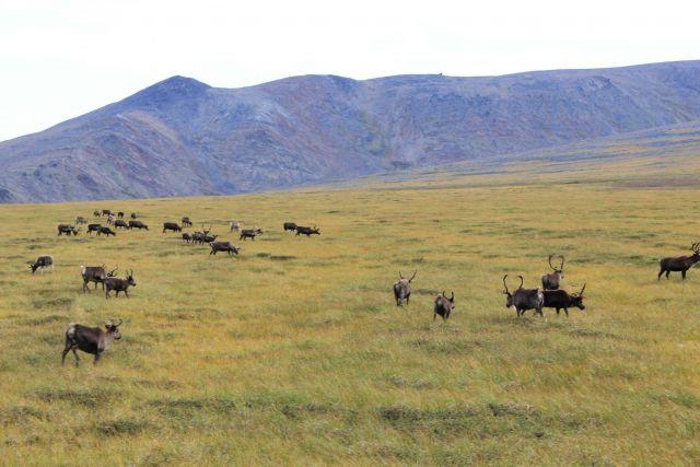 Domestic reindeer herd Picture