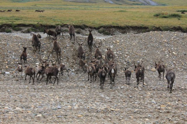 Domestic reindeer herd Picture