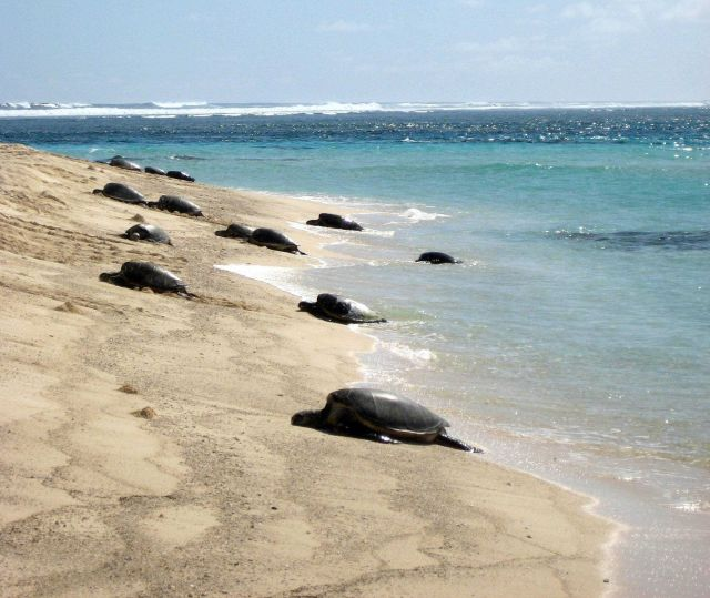 Green turtles coming ashore to lay eggs Picture