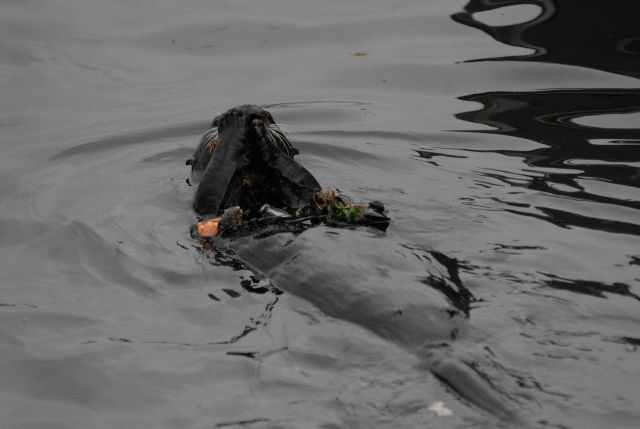 Sea otter lying on back eating mussels Picture