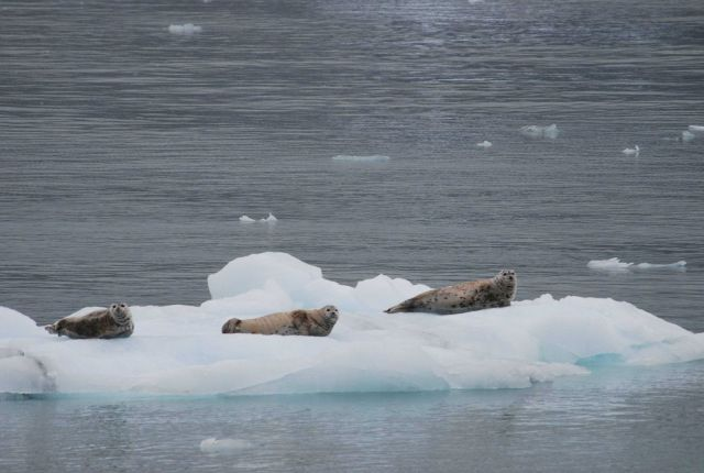 Harbor seals (Phoca vitulina) hanging out on an ice floe. Picture