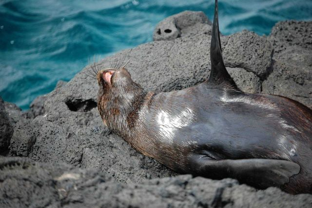 Fur seal. Picture