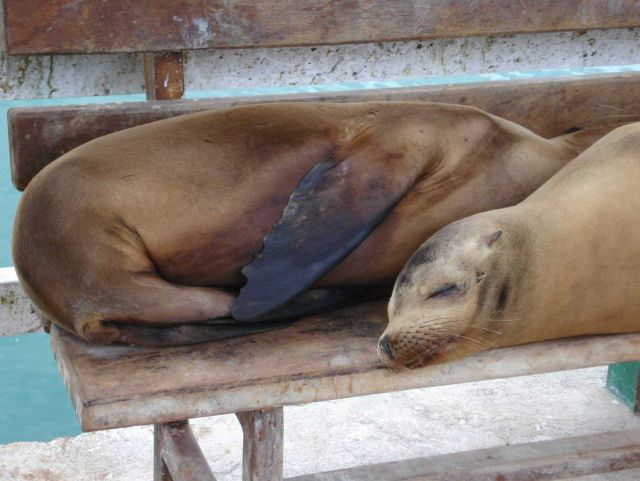Sea lions on bench. Picture