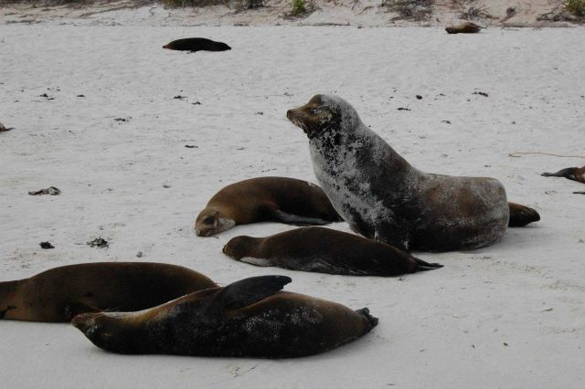 Sea lions hauled out on the beach. Picture