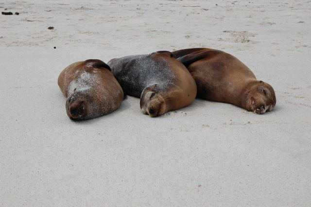 Sea lions hauled out on the beach - the three musketeers all tuckered out from chasing fish. Picture