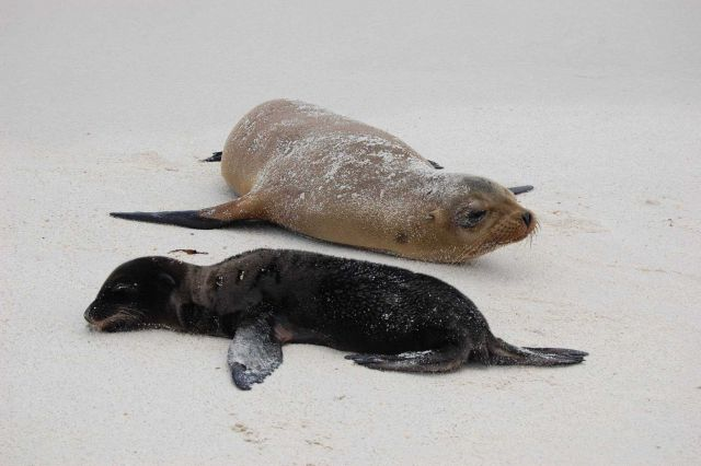 Mother sea lion and pup on the beach. Picture