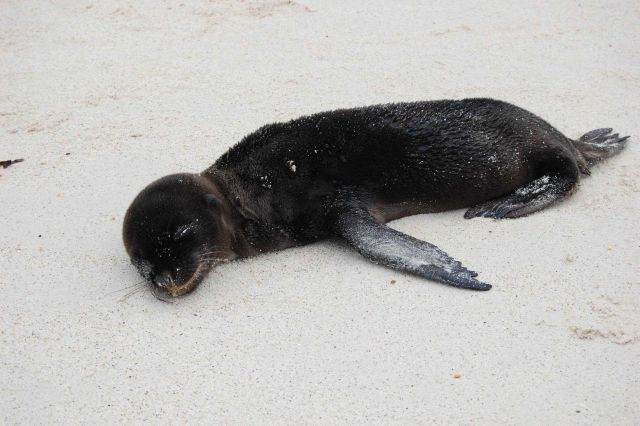Sea lion pup on the beach. Picture