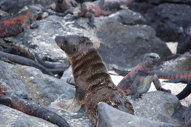Sea lion pup and marine iguana ignoring each other. Picture