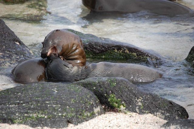 Sea lion pups playing while cooling down in a tide pool. Picture