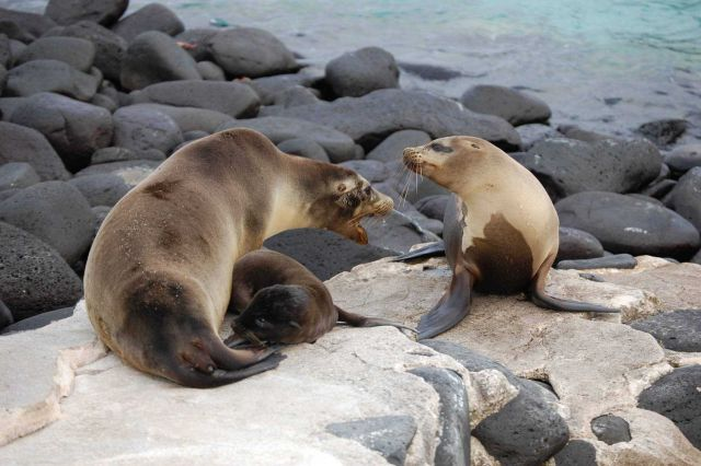 Sea lions with mother disturbed that another is coming closer to her pup. Picture