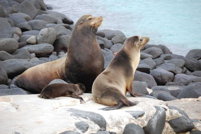 Father sea lion providing reinforcement although Mother sea lion had the situation well in hand. Picture
