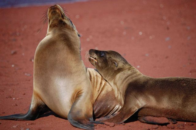 Mother sea lion and pup love - a remarkable display of affection Picture