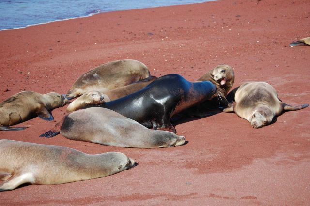 Bull sea lion amongst his harem. Picture