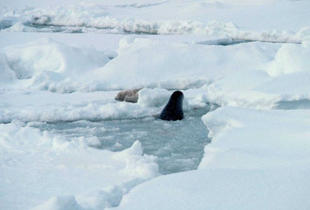 Seal coming up through breathing hole in ice while another lounges on the ice Picture