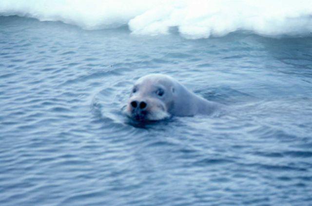 Bearded seal - Erignathus barbatus - swimming. Picture