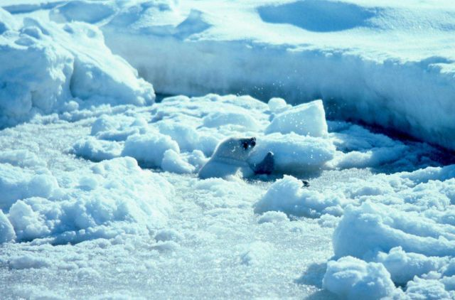 Baby spotted seal - Phoca largha in the ice. Picture