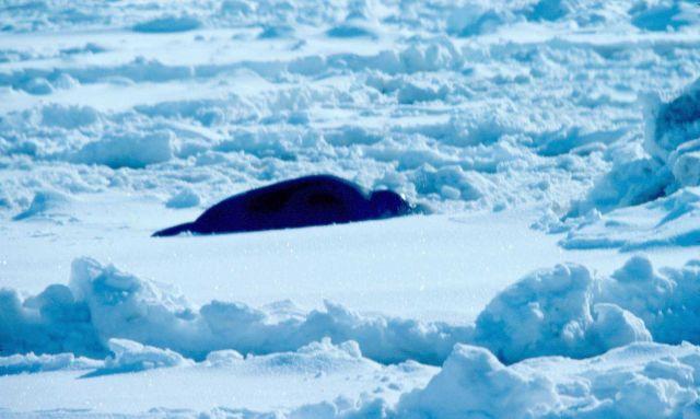 Ribbon seal - Phoca fasciata. Picture