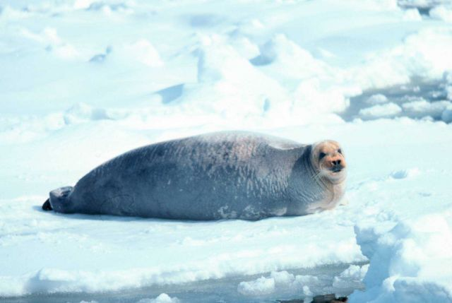 Bearded seal - Erignathus barbatus. Picture