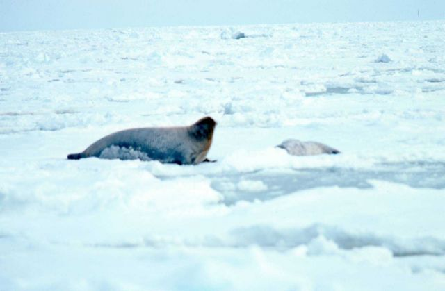 Bearded seal - Erignathus barbatus - with pup. Picture
