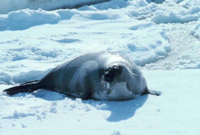 Ribbon seal - Phoca fasciata. Picture