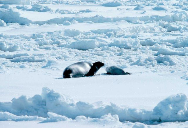 Ribbon seal - Phoca fasciata - with pup. Picture