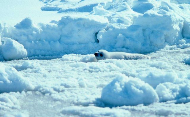 Ribbon seal pup on the ice. Picture